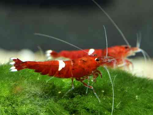 Caridina var. Red Ruby