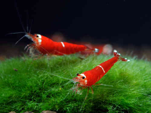 Caridina logemanni var. Super Crystal Red