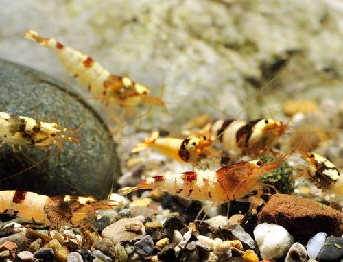 Caridina var. Tai x Fancy