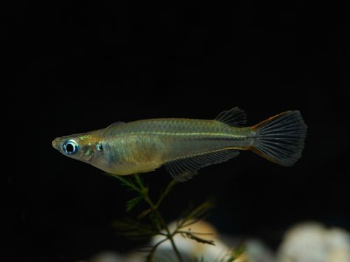Oryzias sp. aff. pectoralis, China-Reisfisch