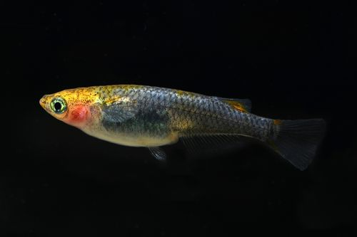 Yellow Head, Clear Scales, Oryzias latipes var. Gelbkopf