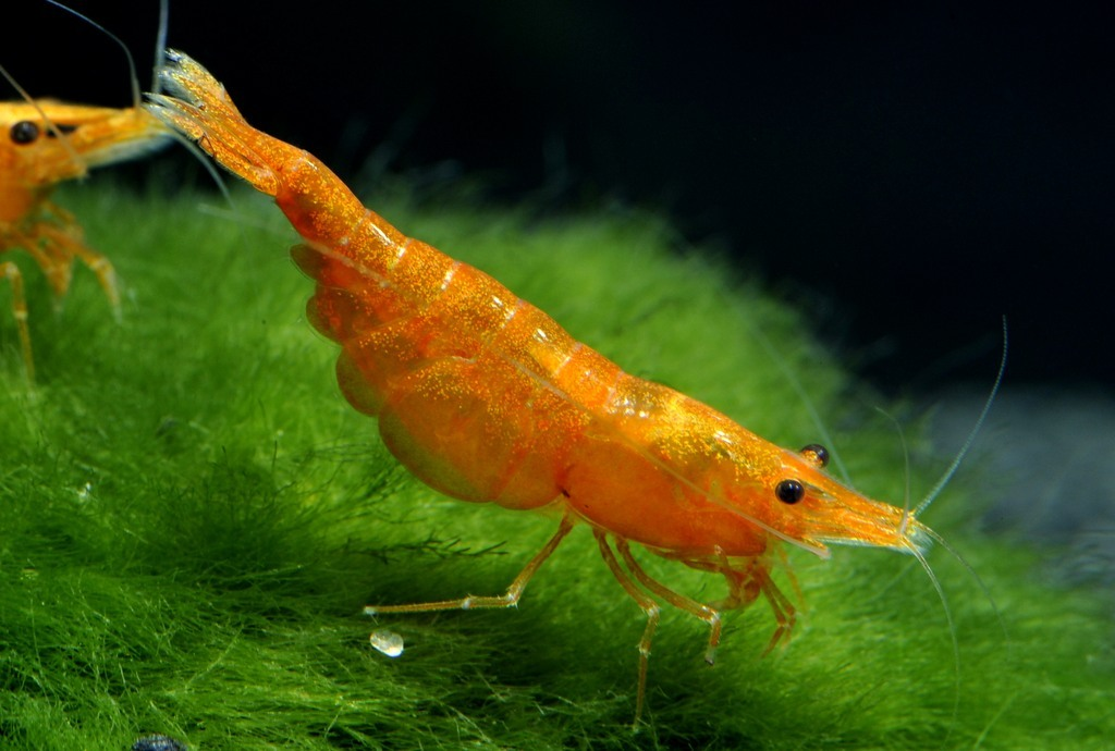 Neocaridina_davidi_Orange_Fire4